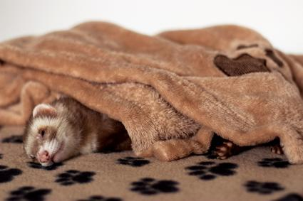 Ferret relaxing on a towel