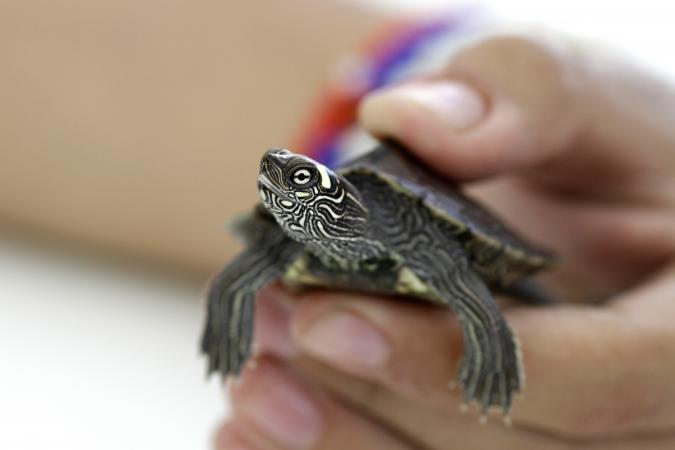 Hand Holding Small Turtle