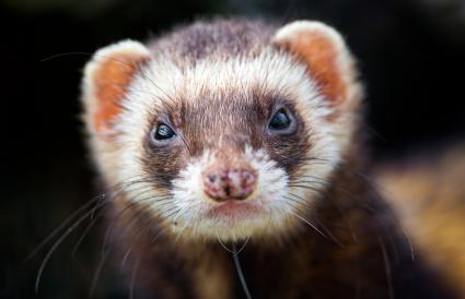 cute ferret portrait