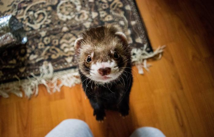 Ferret rearing up at home