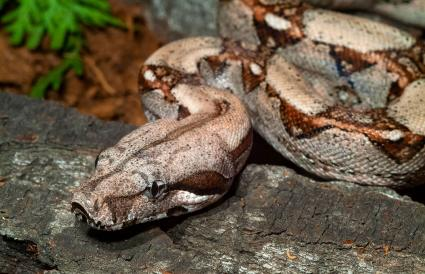Boa constrictor red-tailed