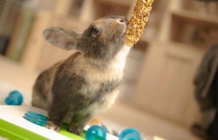 playful domestic pet rabbit