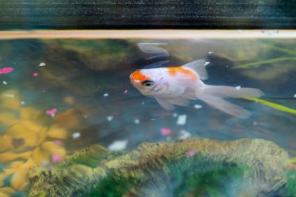 Feeding goldfish in the aquarium at home