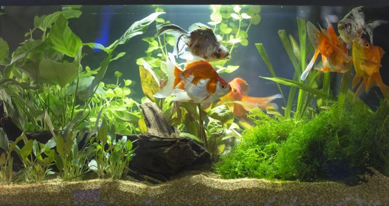 Home aquarium with lush plants