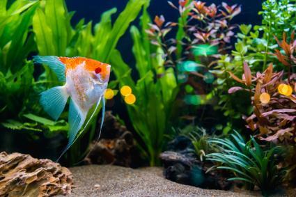 Java fern aquarium plant
