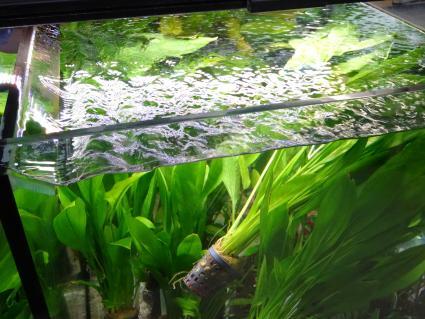 Amazon sword plant for aquariums