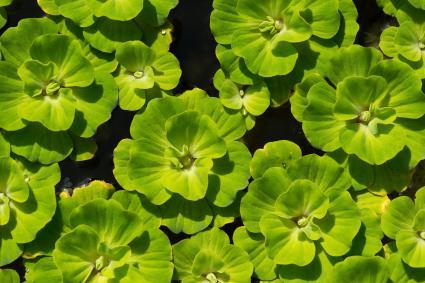 Water lettuce for home aquarium
