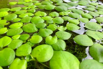 Amazon frogbit plant