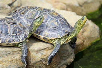 Aquatic and semi-aquatic turtles