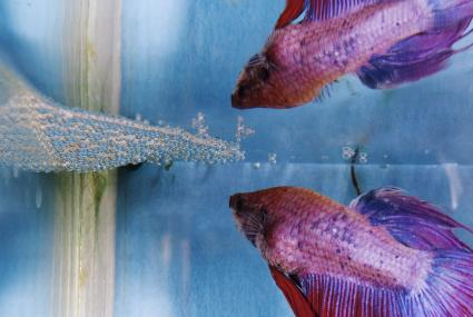 Male crown tail Siamese fighting fishing building a bubble nest