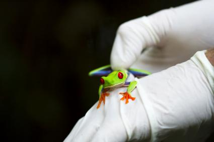 Scientist handles a red-eyed tree frog