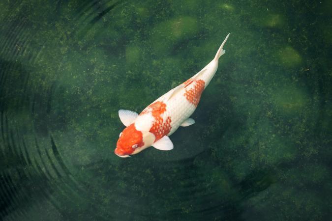 Koi carp in a pond