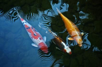 Three Koi fish swimming