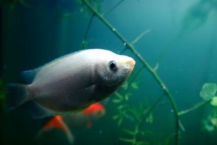 Kissing fish in a fish tank