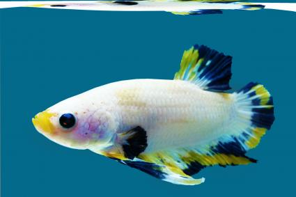 White Thai fish with splashes of color