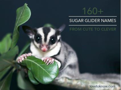 Sugar glider on tree