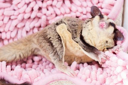 Sugar Glider Relaxing On Rug