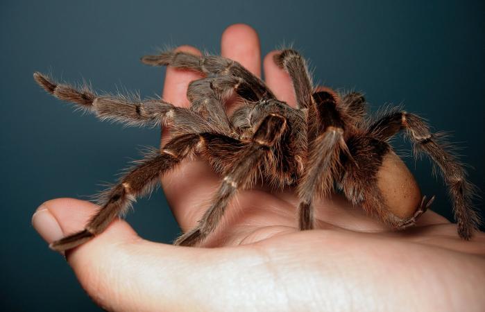 Giant tarantula on hand