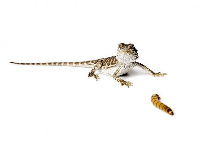 Baby Bearded Dragon and worm on white background