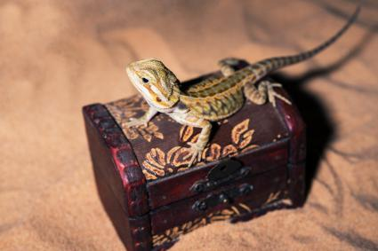Bearded dragon lies in on treasure chest