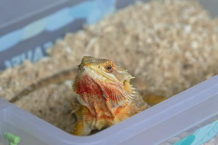 An orange bearded dragon peeps out of the box