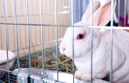 White rabbit in cage