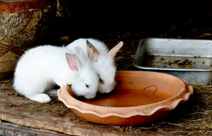 Two White Rabbits Drinking Water