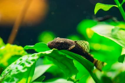 Fish in a home freshwater aquarium with plants