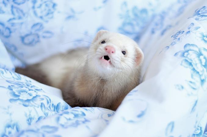 Ferret lying in bed