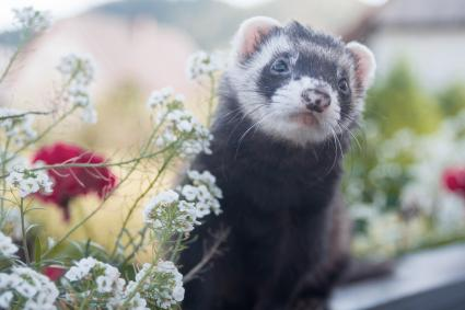 Ferret on a fence with roses in the background