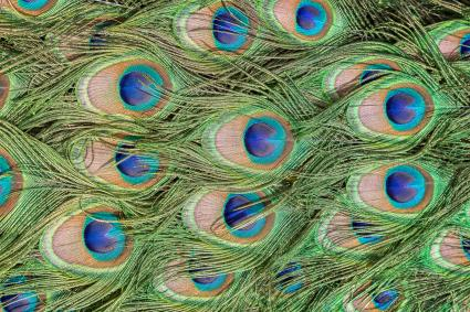 Close-up of peacock feathers looking like eyes