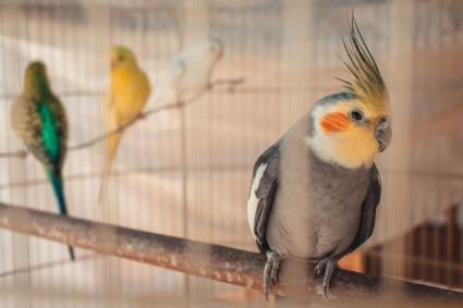 Female Cockatiel in cage