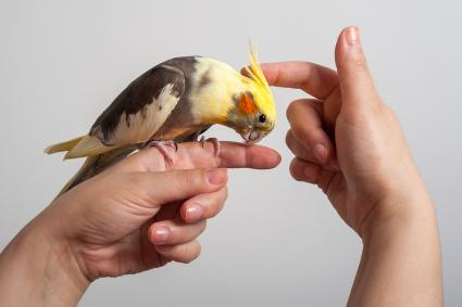 Colorful cockatiel sitting on a hand