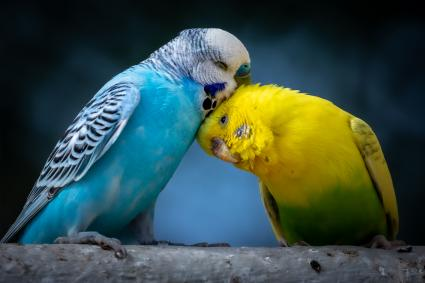 Portrait of two cute cuddling parakeets perched on branch