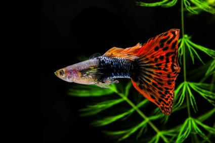 Guppy Multi Colored Fish on a black background with green algae