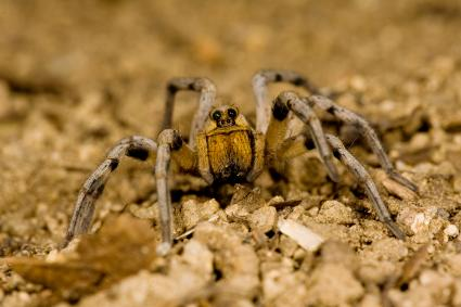Burrowing Wolf Spider
