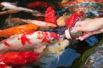 woman Hand Feeding Koi Carps fish At Pond