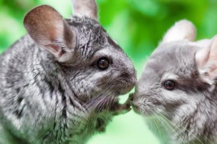 couple of cute gray chinchilla