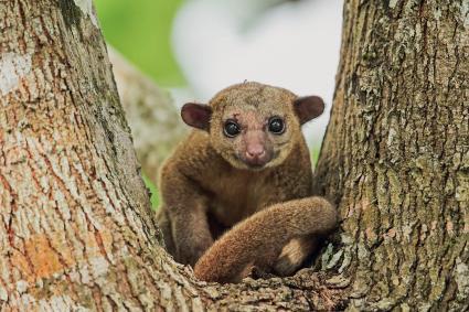 Kinkajou adult sitting in tree