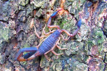 Scorpion On Tree Trunk