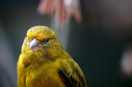 Close-Up Of a Canary