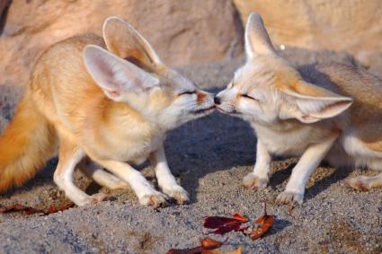 Kissing fennec fox