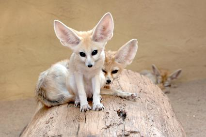 Fennec Foxes Hanging Out