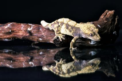 Crested Gecko and its reflection