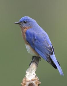 Blue bird twittering on a branch