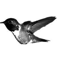 Hummingbirdtat.jpg