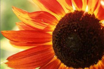 Sunflower_red.jpg