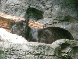 Panther lounging