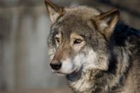 Wolves are symbolic of strength in many cultures.