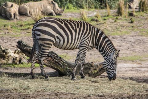 Disney s Animal Kingdom - Zebra